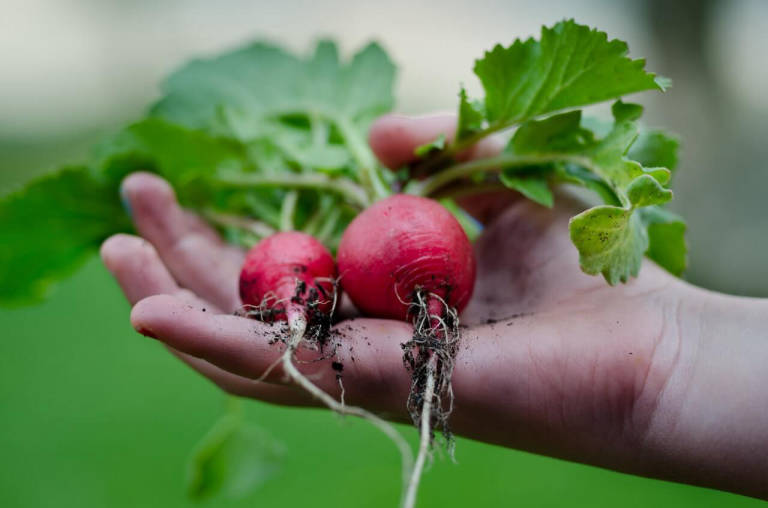 how to grow and pick radishes in garden