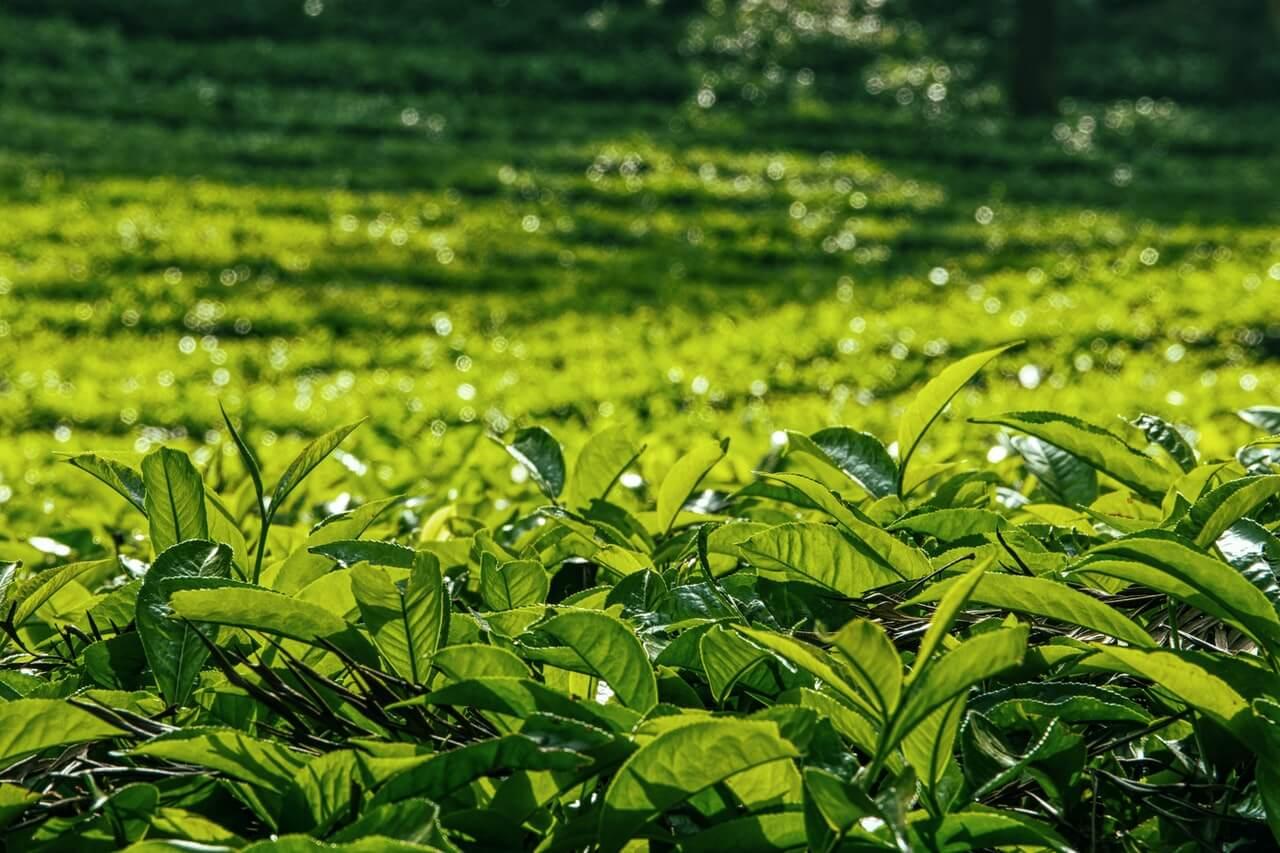 nettle soil fertilizer